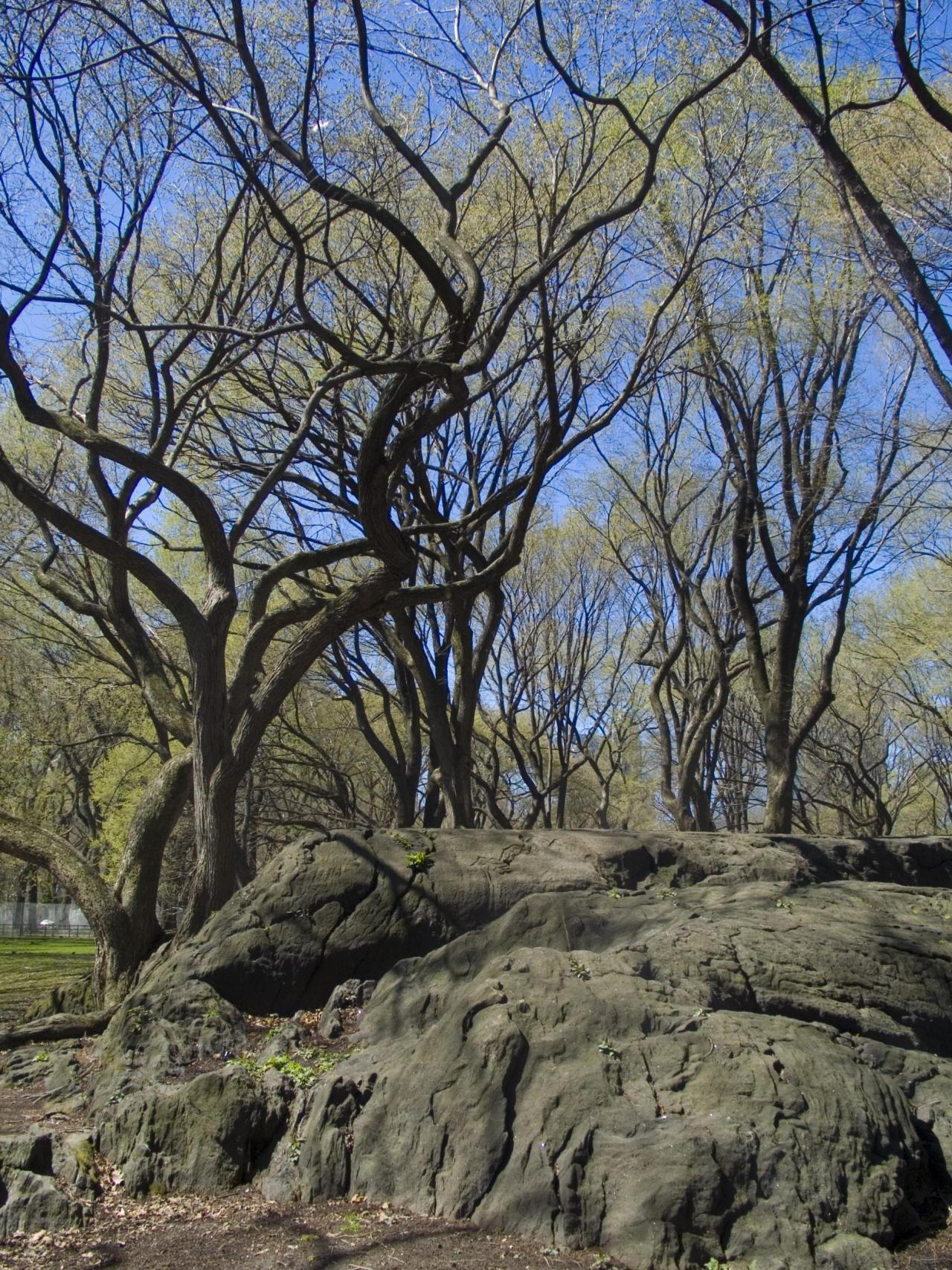 Central Park - Tree Forms, 2006, digital photograph by Orin Buck.